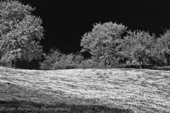 Daisy field on a hill