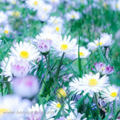 Daisy in spring